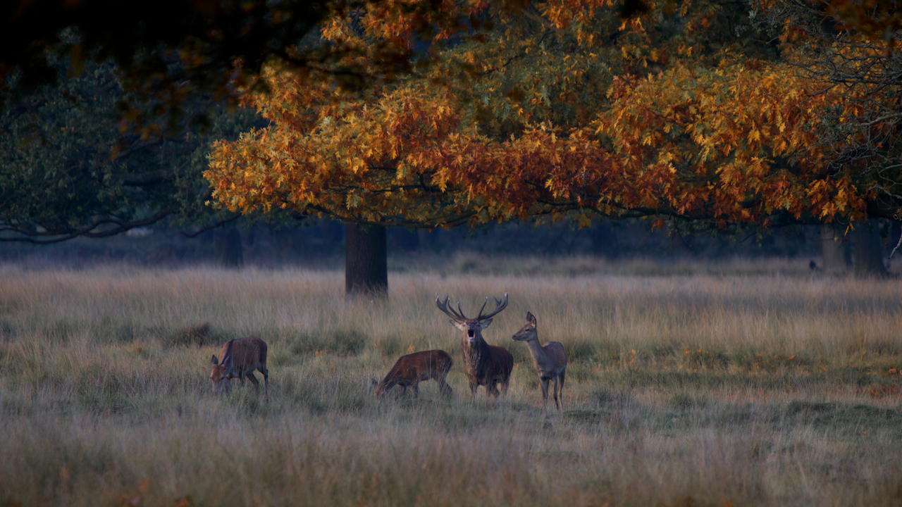 red deer in richmond park  u2013 nathan harrison director