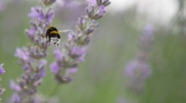 Bees in Lavender